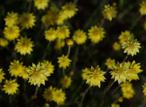 Everlasting Schoenia filifolia subsp. subulifolia