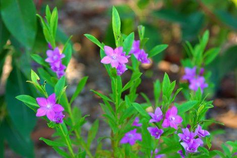 Waxflower Crowea saligna 'Large Flower'
