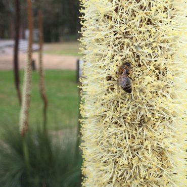 Grass Tree Xanthorrhoea australis