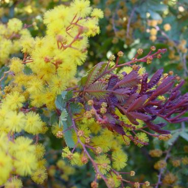acacia baileyana purpurea1