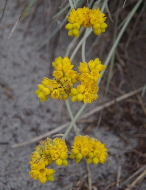 Cottonheads - Constylis candicans flower closup