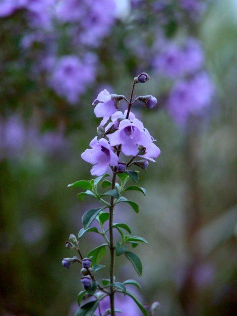 Round Leaf Mint Bush / Native oregano - Prostanthera rotundifolia Prostanthera rotundifolia flower closeup