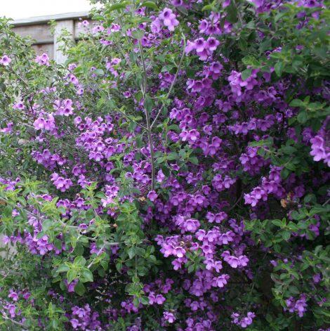 Round Leaf Mint Bush / Native oregano - Prostanthera rotundifolia Prostanthera rotundifolia tree