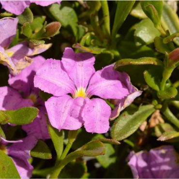 Scaevola Pink Perfection