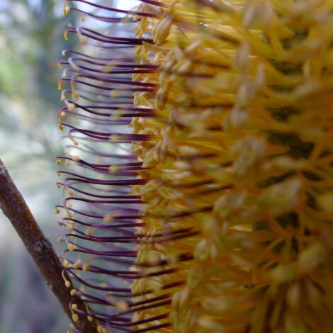 Banksia spinulosa 'Black Magic' close-up