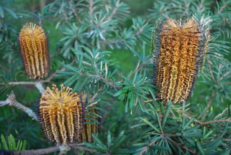 Banksia spinulosa 'Black Magic' foliage