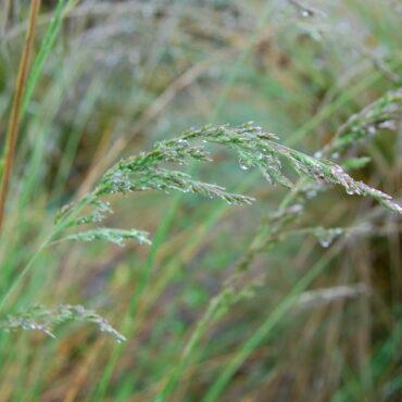 Coastal Tussock grass Poa poiformis close-up