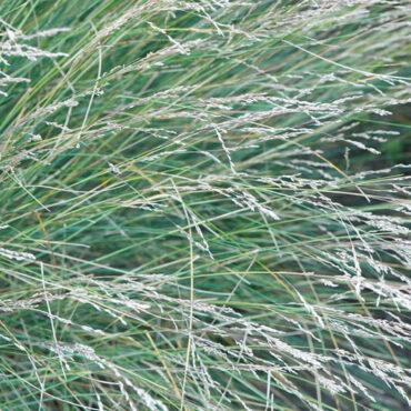 Common Tussock Grass Poa labillardieri close-up