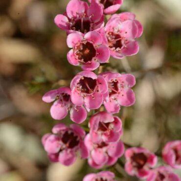 Geraldton Wax Chamelaucium uncinatum 'Raspberry Ripple' PBR flowering foliage