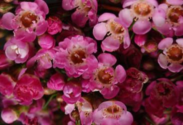 Geraldton Wax Chamelaucium uncinatum 'My Sweet Sixteen' PBR