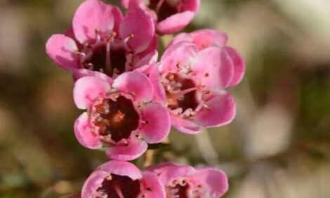 Geraldton Wax Chamelaucium uncinatum 'Raspberry Ripple' PBR flower close-up