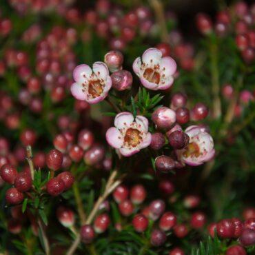 Geraldton Wax Chamelaucium uncinatum 'Sarah's Delight' PBR flowering foliage