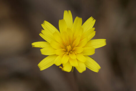 murnong yam daisy microseris lanceolata 4