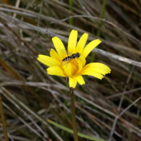 Murnong Yam Daisy Microseris lanceolata flower with bee