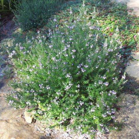 Westringia 'Wynyabbie Gem shrub