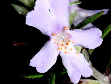 Westringia 'Wynyabbie Gem flower close-up