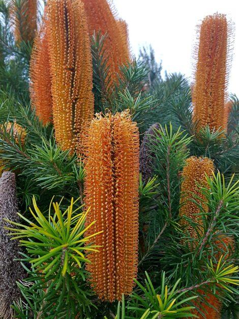 banksia ericifolia x spinulosa 'giant candles 2