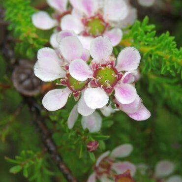 leptospermum liversidgei 'mozzie blocker4