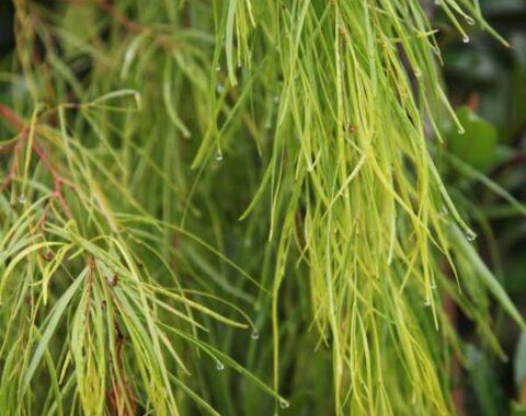 Acacia cognata Lime Magik_1