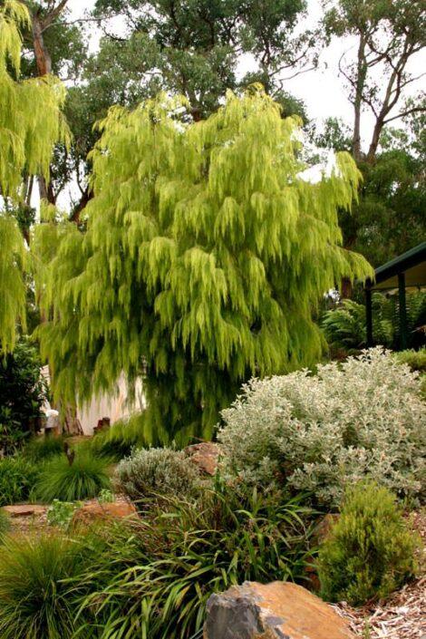 acacia cognata lime magik 3