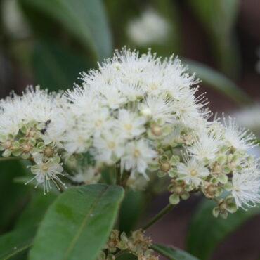 Backhousia citriodora-Lemon Myrtle close up of white flower