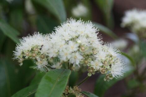 backhousia citriodora lemon myrtle 1
