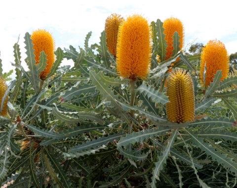 Banksia ashbyi 'Dwarf' with serrated grey foliage and bright orange flowers