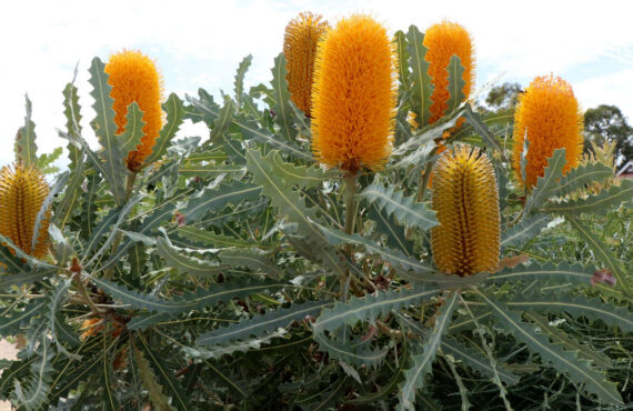Banksia ashbyi 'Dwarf' with serrated grey foliage and bright orange flowers