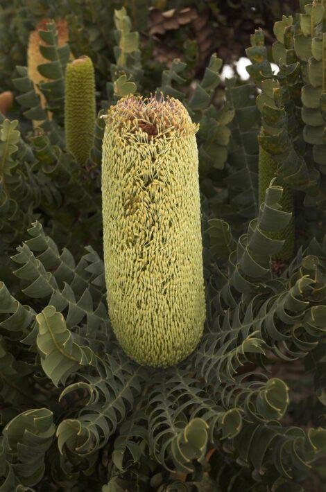 Banksia grandis creamy yellow flower head