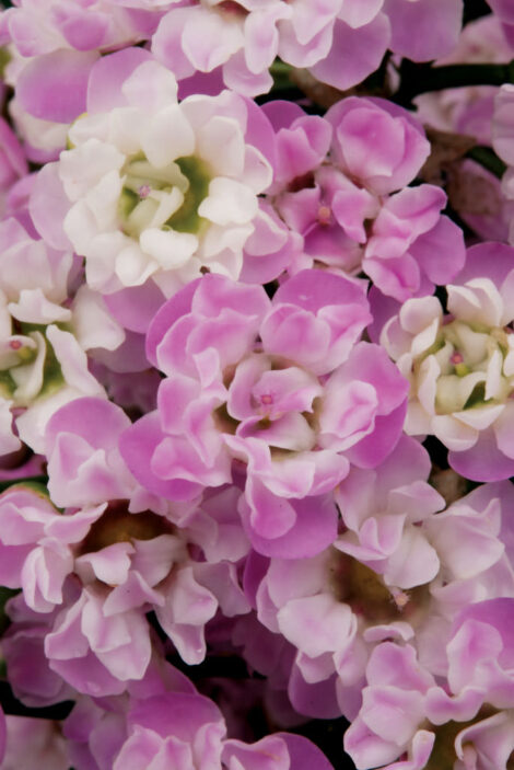 Chamelaucium 'Dancing Queen' PBR close up of delightful ruffled lilac and pink flowers