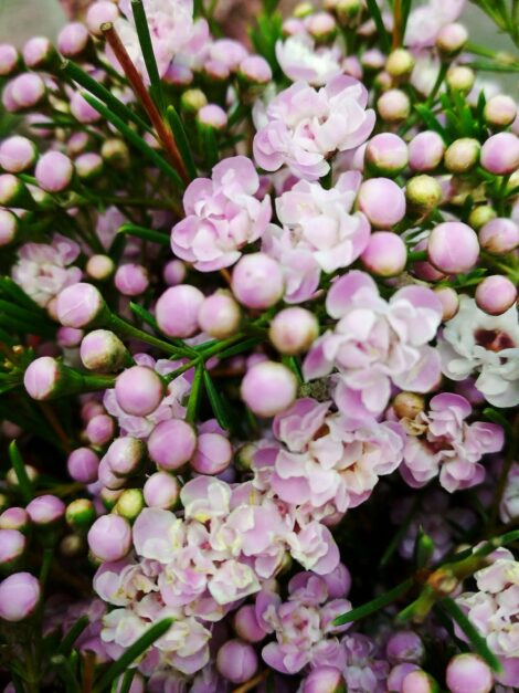 Chamelaucium 'Dancing Queen' PBR with delightful ruffled lilac and pink blooms