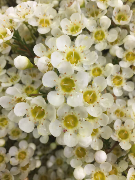 Chamelaucium Leeman Pearl PBR with pure white blooms with a lemon centre