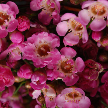 Chamelaucium Strawberry Surprise PBR with mid pink blooms