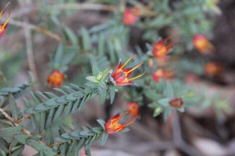 Darwinia citriodora with yellow with red stigmas to an orange red.