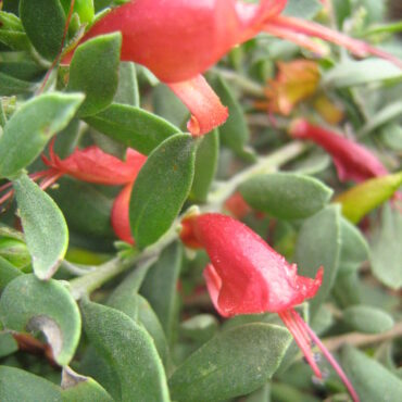 eremophila glabra prostrate burgundy 2