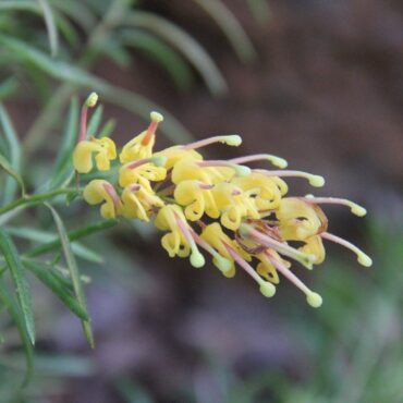 Grevillea lanigera x rosmarinifolia - Lemon Daze close up with bright yellow and pink flower