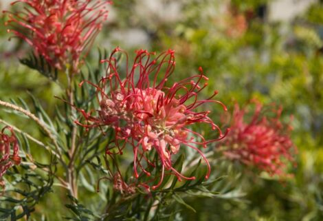 Grevillea 'Robyn Gordon' close up of bright red flowers