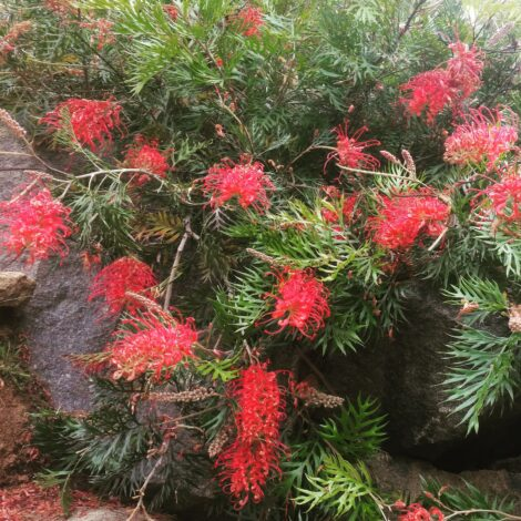 Grevillea 'Robyn Gordon' foliage with bright red flowers