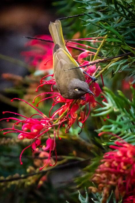 Grevillea 'Robyn Gordon' flower filled branch with Honey Eater