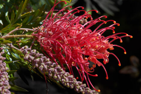 Grevillea 'Robyn Gordon' close up of bright red flower