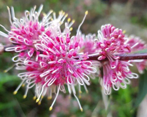 hakea burrendong beauty 3