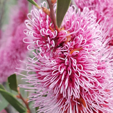 Hakea multilineata pink and white bloom close up