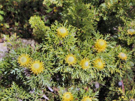 isopogon anemonifolius little drumsticks 5