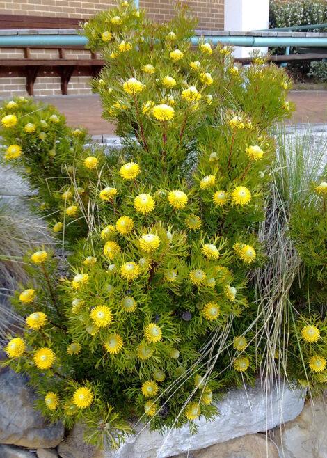 isopogon anemonifolius little drumsticks 6