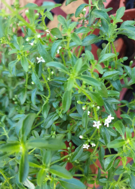Mentha satureioides 'Bush Mint' green foliage with small white flowers