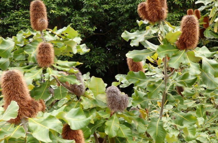 banksia robur 'swamp banksia3