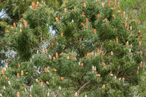 big acorn banksia tree full of inflorescence flower spikes in so